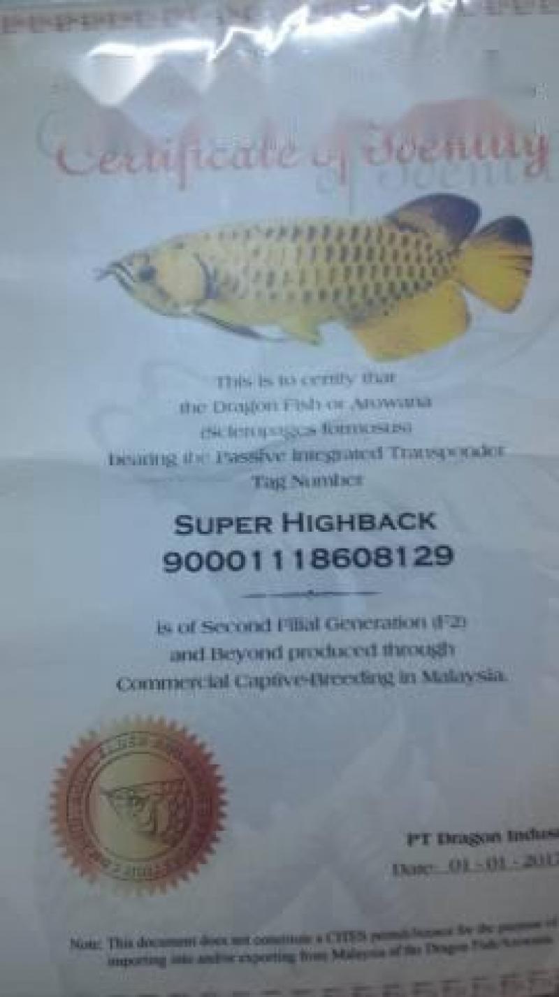 Cá rồng super highback