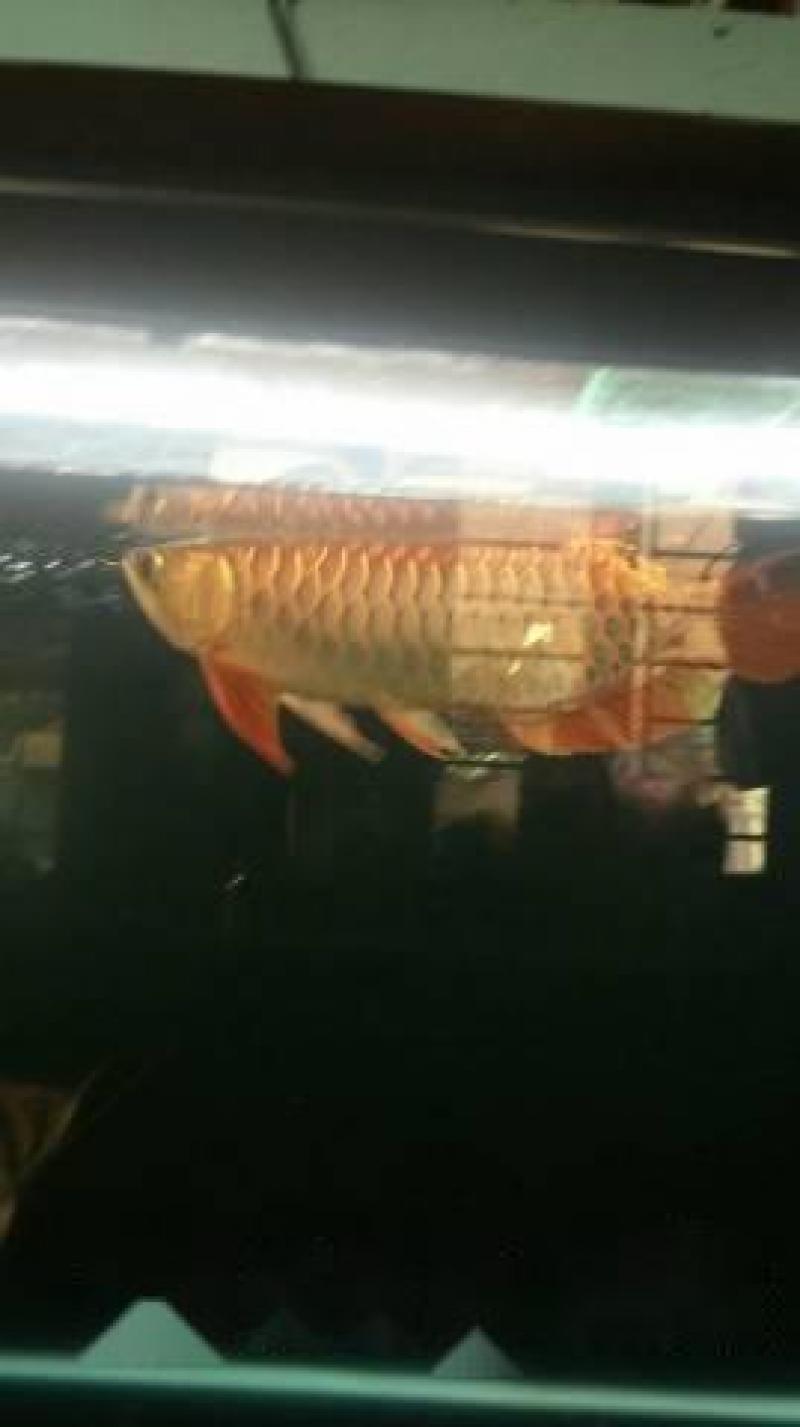Cá rồng golden head