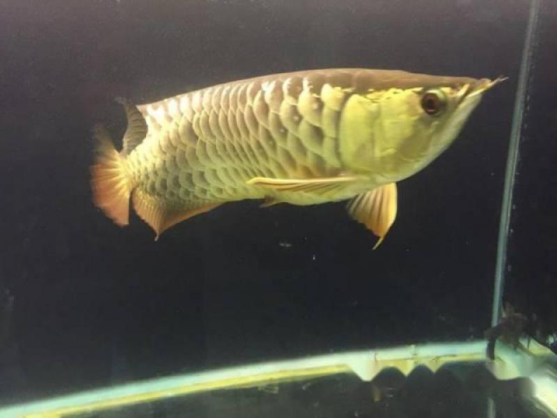 Cần bán cá rồng gold size 50