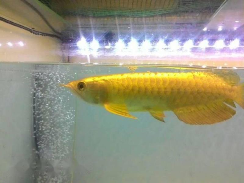 Cá rồng quá bối golden head size 20cm