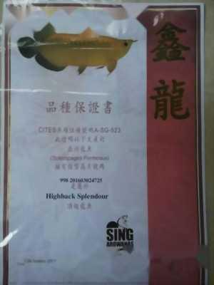 Cá rồng highback splendour Singapore ,  hồng anh