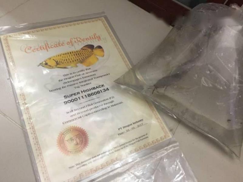 Cần bán cá rồng Cao lưng size 30 40 giấy đầy đủ