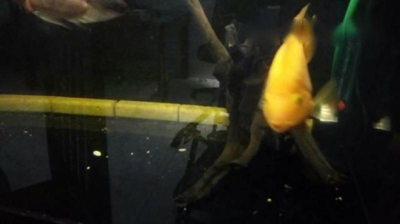 Cây lũa,  thủy sinh,  cá rồng