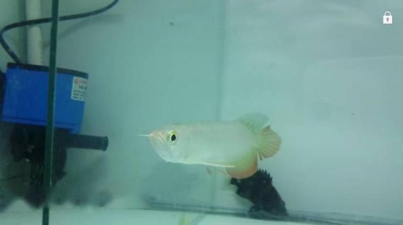 Cá rồng bối B 24k