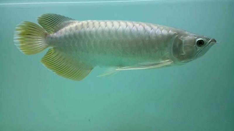 Cá rồng hồng long size 45cm.