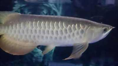 Cá rồng hb sp