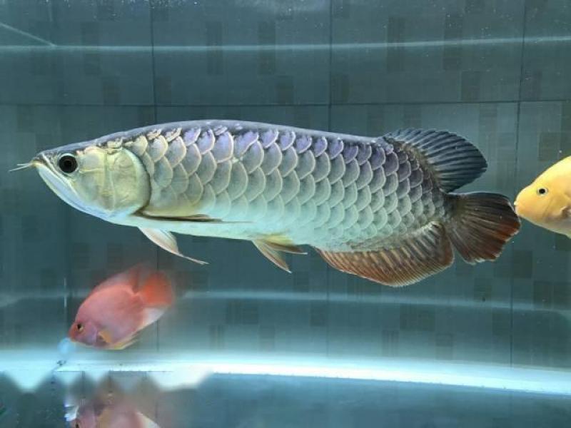 Cá rồng Kim long bluebase cross back quá bối tím