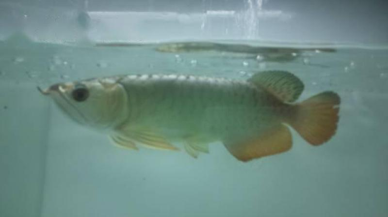 Cá rồng quả bối fulhelmet golden