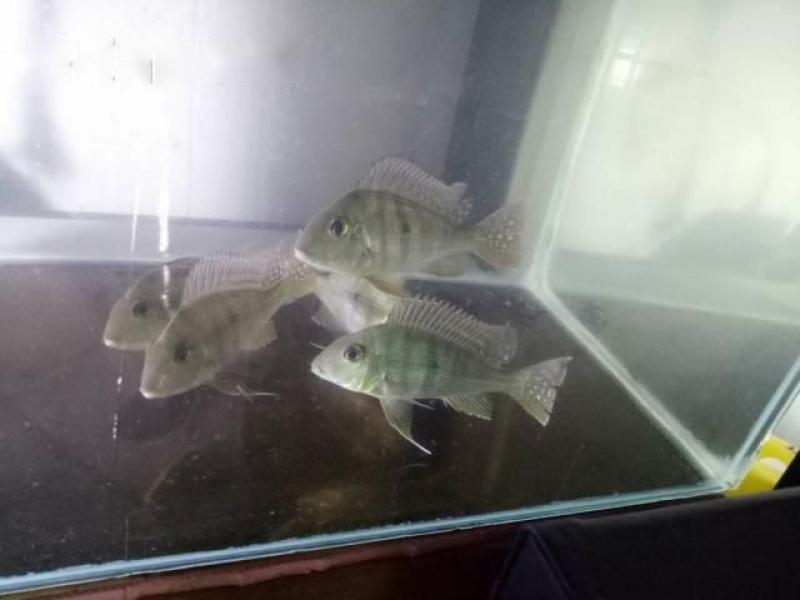 Phụ kiện cá rồng.  Cá hải hồ size 11