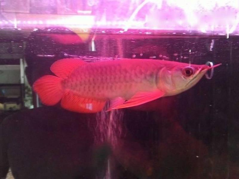 Bán cá rồng huyết size 22cm không lỗi