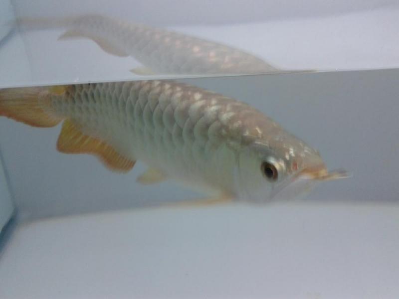 Bán cá rồng size 28,  29