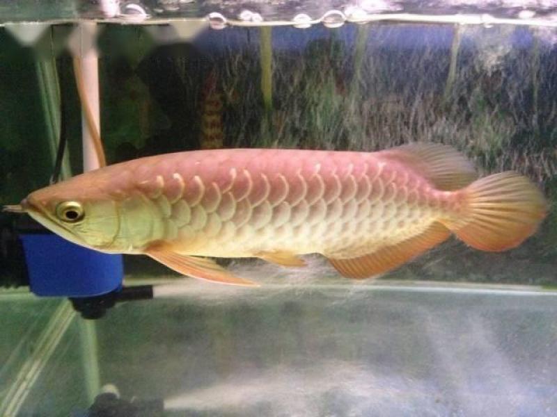 Cần bán cá rồng và hồ kệ gỗ