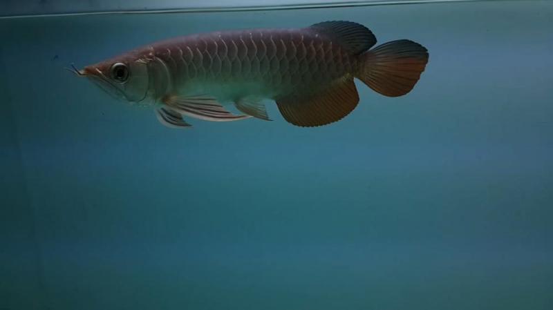 Kim long highback bluebase size 25cm