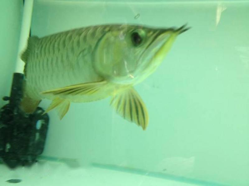 cá rồng đầu vàng size 32 body sotr