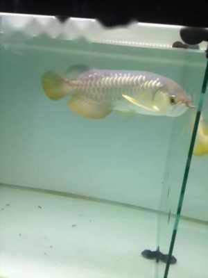 cá rồng hb sort size30