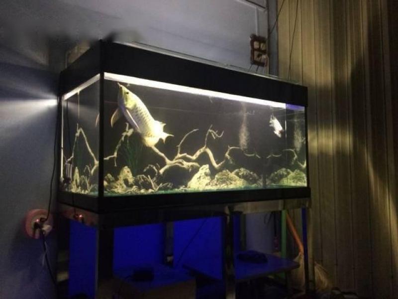 Cá rồng quá bối blue base và la hán king kamfa