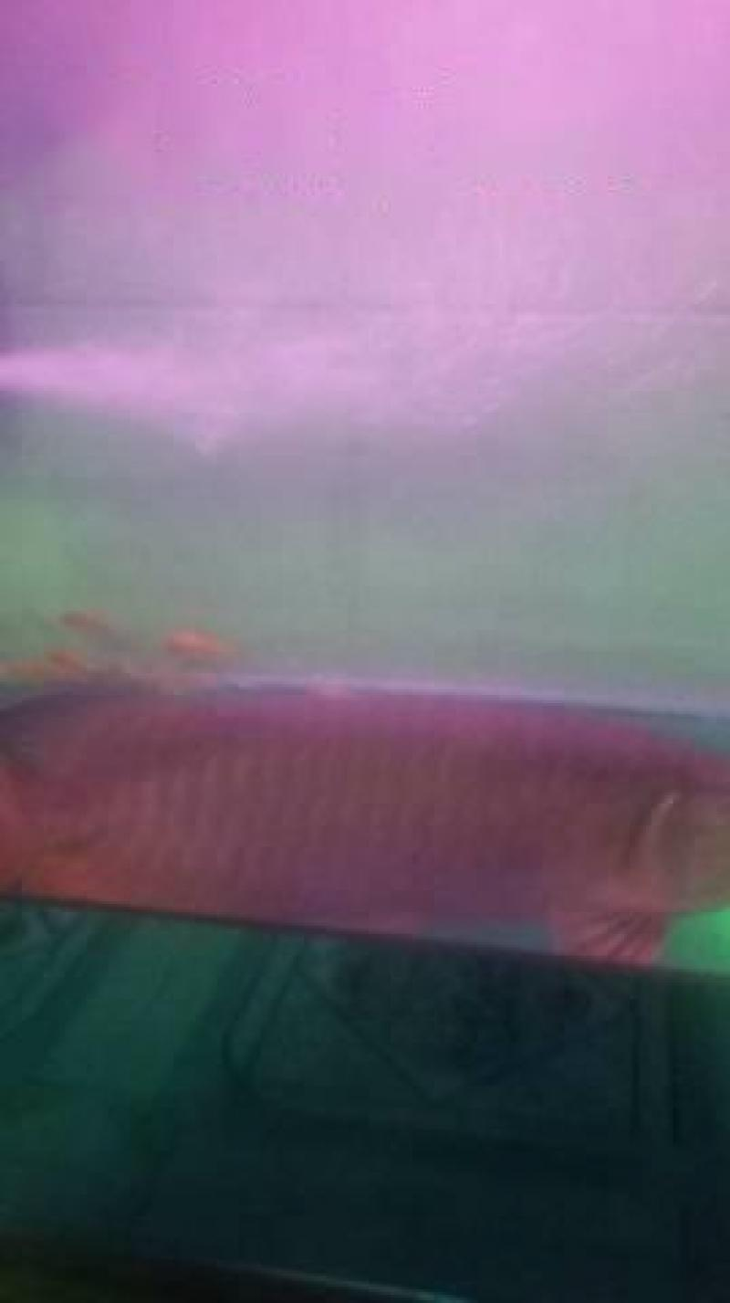 Cá rồng cao lương hồng vỹ có giấy khai sinh