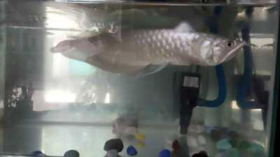 Cá rồng ngân l