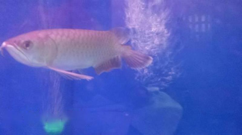 Cá rồng hồng long size 20