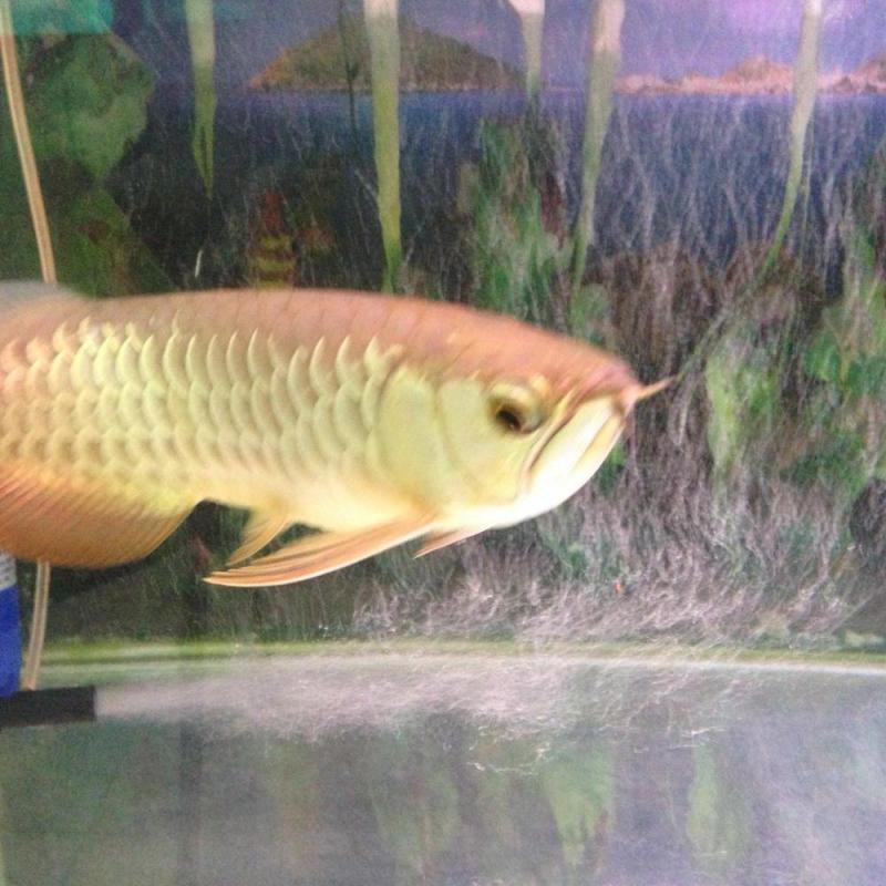 Bán hồ + cá hb đẹp ko tì vết size 45