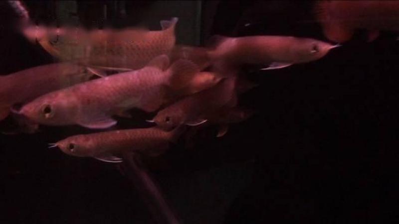 Bán nhanh cá rồng Hồng Long