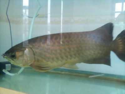 Cần bán cá rồng size 60cm