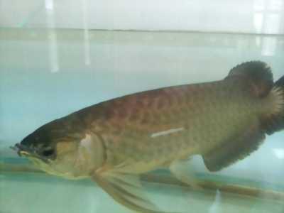 Cần bán cá rồng đẹp size hơn 60 cm