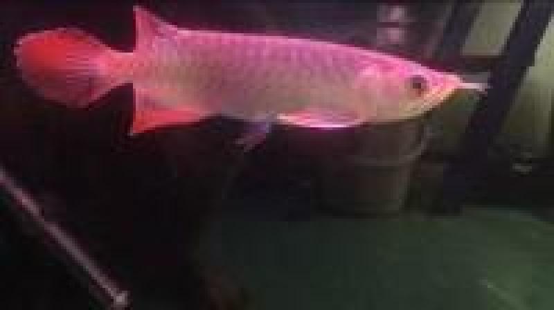 Bán cá rồng Chili red