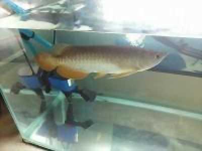 Bán cá rồng Qb24k 9999