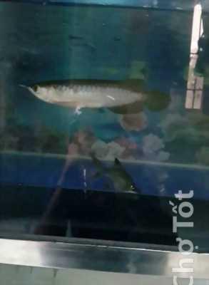 Bán cá Rồng Huyết Long size 17