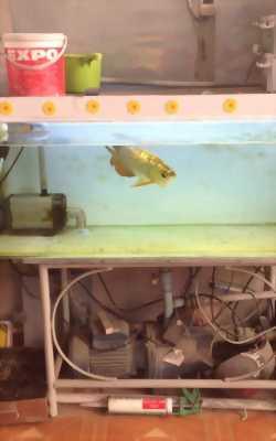 Bán cá rồng vàng
