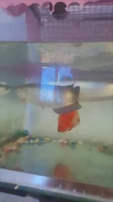 Thanh lý cá rồng kim long