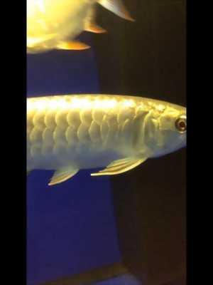 Bán nhanh cá rồng Kim Long đầu vàng