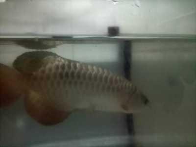 Bán cá rồng đầu vàng size 30