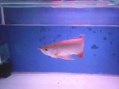 Cần bán cá Rồng Hồng Long Indo size 38