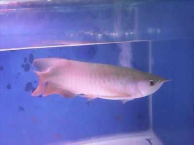 Cần bán cá Rồng Hồng Long size 35