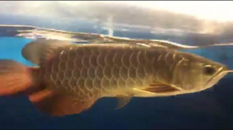 Bán cá rồng Singapore size 35