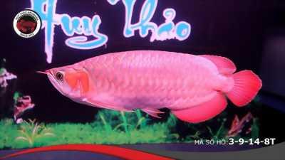 Cá rồng huyết long yuki nhập khâu indonesia