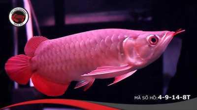 Cá rồng Huyết long Yuki