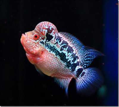Cá la hán châu thái size 1.5 ngón