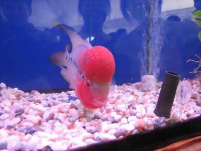Cá la hán thái vàng hồng