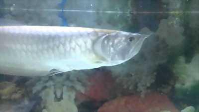 Cá ngân long size 60