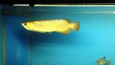 Cá rồng kim long quả bối đầu vàng