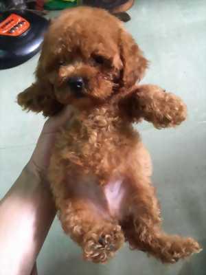 Cần bán bé poodle dễ thương