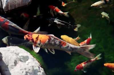 Cá kiểng giá bèo
