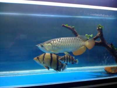 Cá rồng highback slendour + hồ + phụ kiện