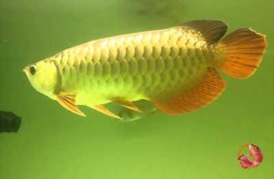 Cá rồng hb splenduor