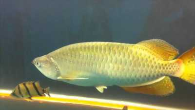 Cá rồng kim long quá bối 24k9999 size 62cm