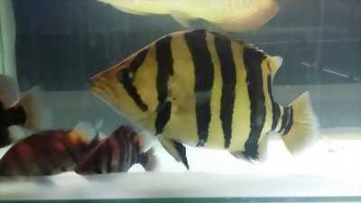 Cá hổ indo