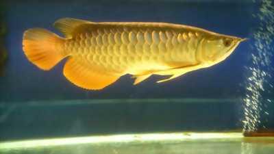 Cá rồng 24k9999